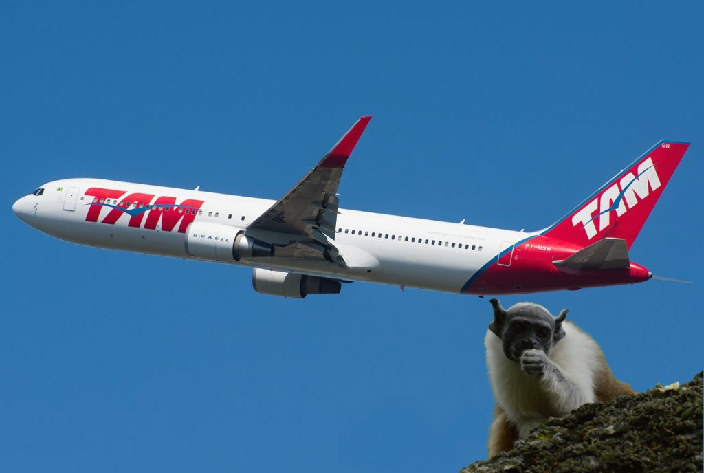 Avião Solidário da LATAM transporta duas fêmeas  de Sauim-de-Coleira para ajudar a preservar a espécie